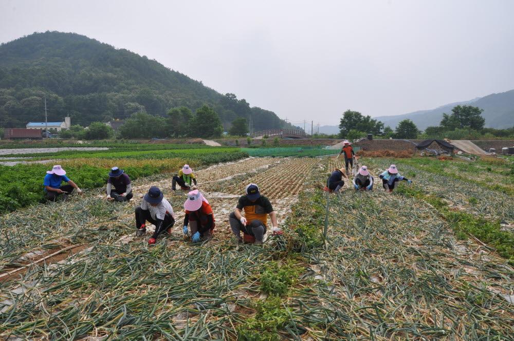 2015년 농가일손돕기 실시1.JPG